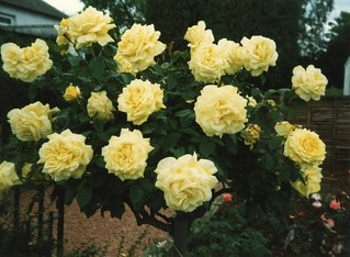 garden roses, Greenbank, July 1989
