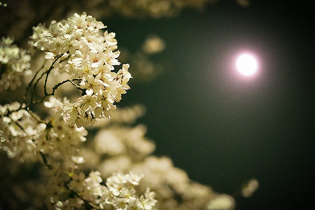 Cherry blossoms with moon at night
