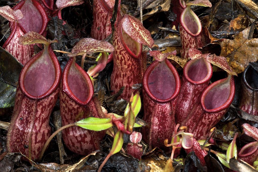 Carnivores et orchidées in situ  16807446071_165cb03f89_b