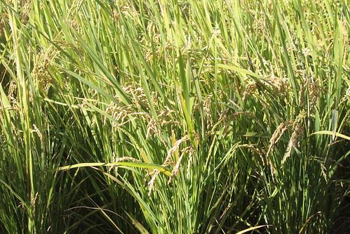 石虎米的稻穗。