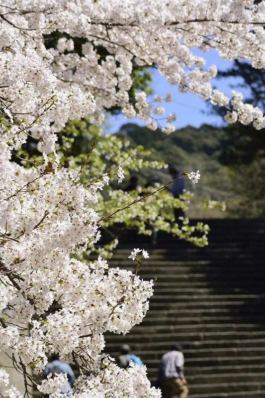 桜の京都 知恩院