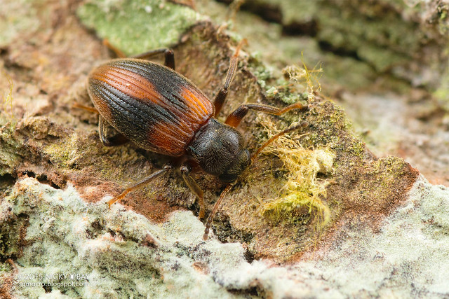 Darkling beetle? (Tenebrionidae?) - DSC_2756