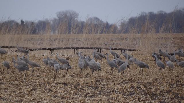 Sandhill crane, Nebraska