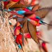 Carmine bee-eater colony by Burrard-Lucas Wildlife Photography