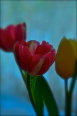 Spring 2015 - Tulips