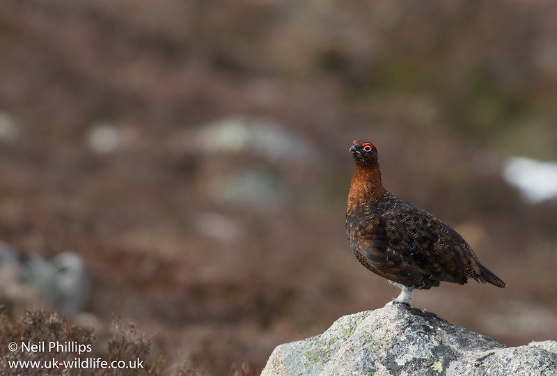 Red grouse_-3