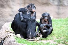 Bonobo Family with Baby