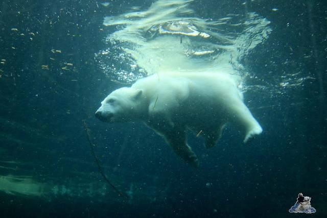 Eisbär Lili im Zoo am Meer Bremerhaven 14.05.2016 Teil 2 078