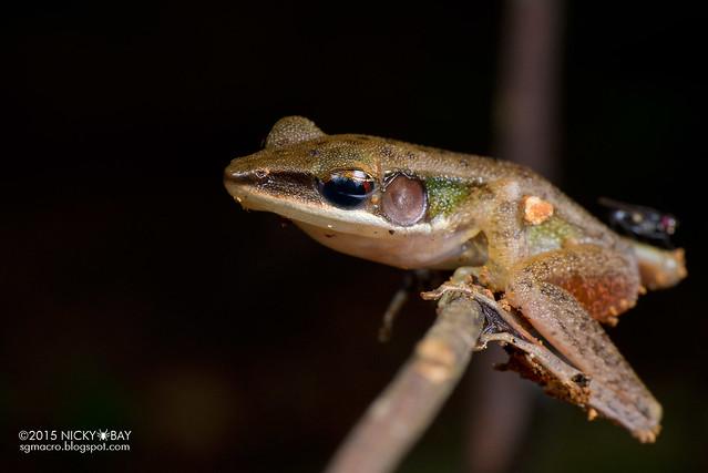 Copper-cheeked frog (Hylarana labialis) - DSC_5055
