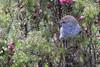 Tasmanian Thornbill Acanthiza ewingii 2015-03-27 (_MG_2396)