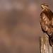Common Buzzard (Buteo buteo) Egerész ölyv