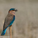 uttampegu posted a photo:	Indian Roller perching lonely