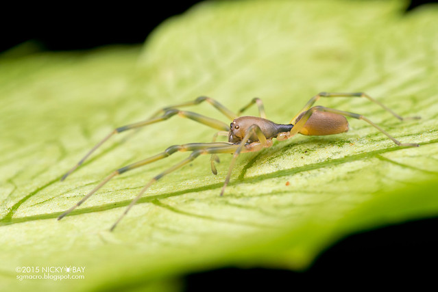 Ant-like sac spider (Utivarachna sp.) - DSC_2967