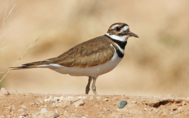 Killdeer 20d_0648