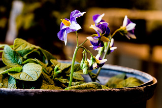 Potato_Flower #potato #flower