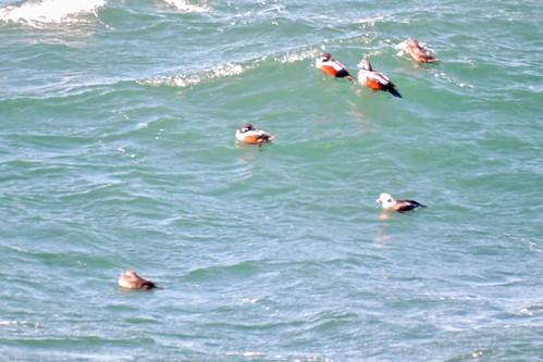 Harlequin Duck #62 Life #127