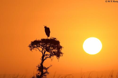 silhouette kenya secretarybird africanwildlife nairobinationalpark nikkor600mm nikond4s sunrisingcolours