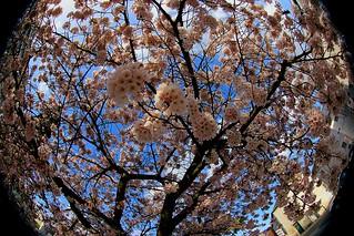 Cerisier, fleury.