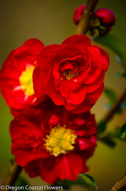 double flowering quince