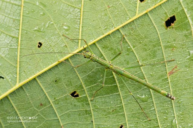 Stick insect (Phasmatodea) - DSC_2746