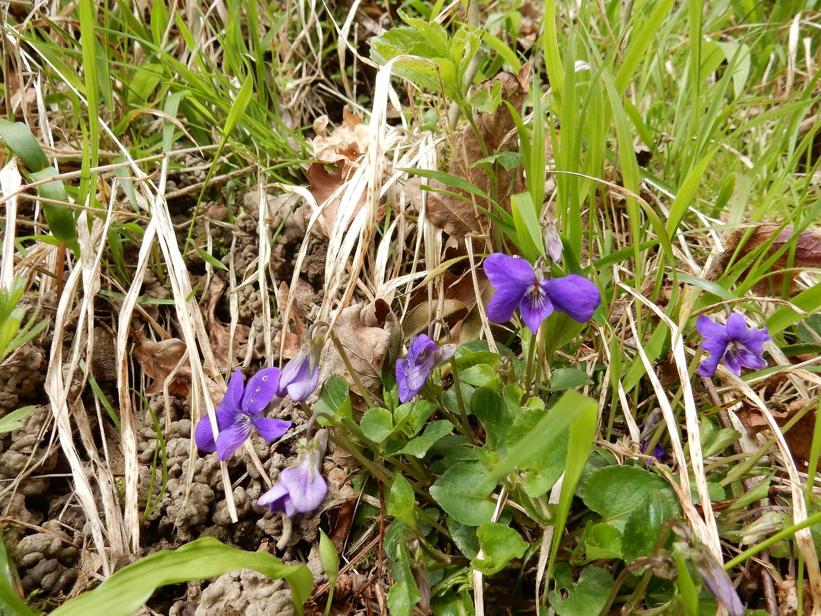 Violets Sevenoaks Circular