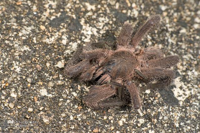 Tarantula (Theraphosidae) - DSC_5006