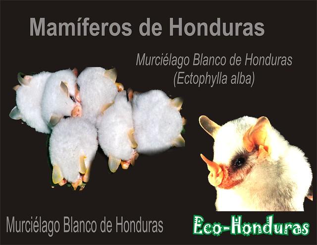 Murciélago Blanco2