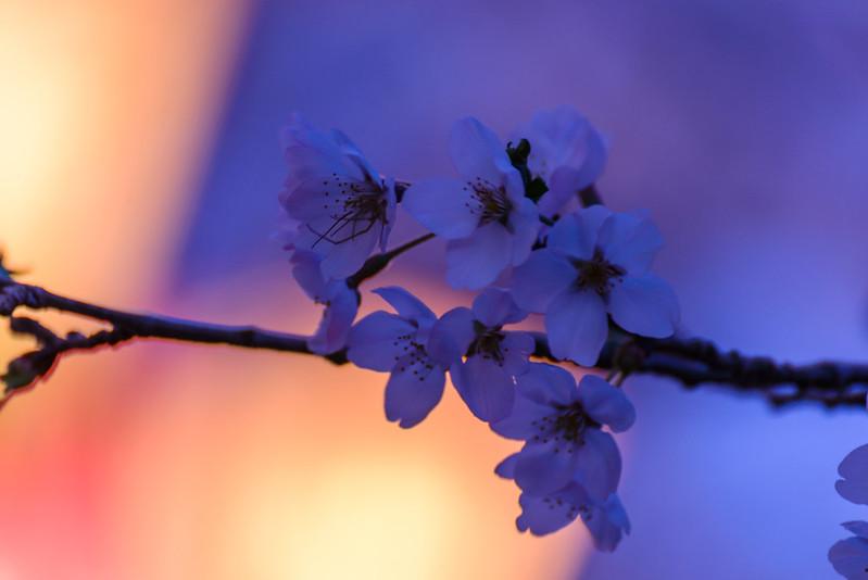 打吹公園 桜-1