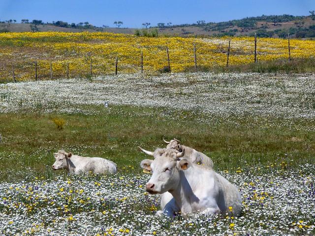 Praderas primaverales a orillas del Lago Alqueva en Aldeia da Luz (Alentejo, Portugal)