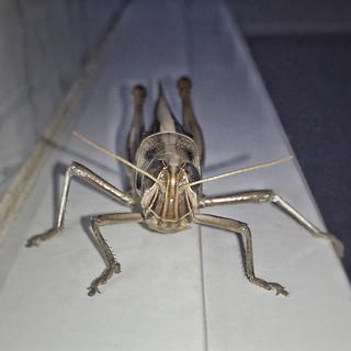Spur-throated Locust - Austracris guttulosa - Barton - ACT - Australia - 20150424 07:16