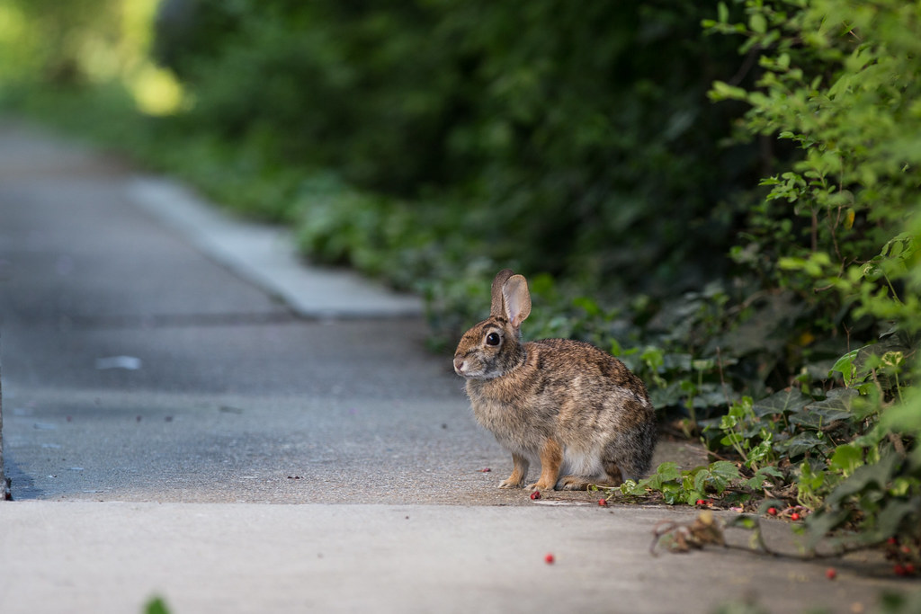 VCU Wildlife - rabbit