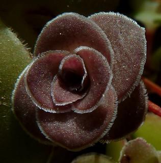 Crassula orbicularis var. orbicularis 17082464319_b3e0fab863_n