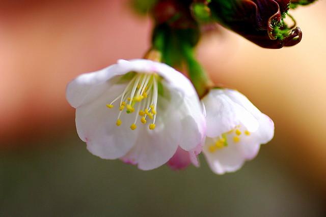 2012年千島桜