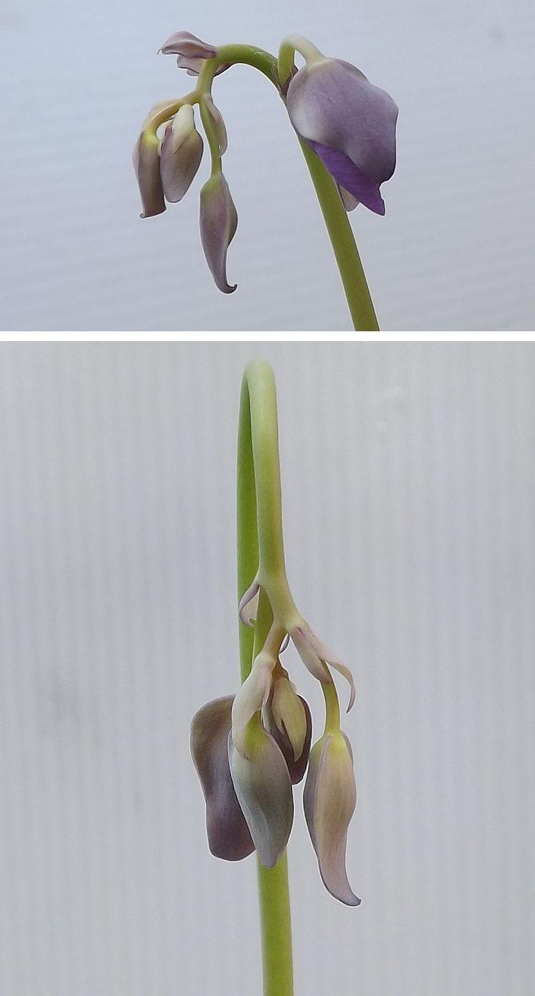 Utricularia reniformis in bud