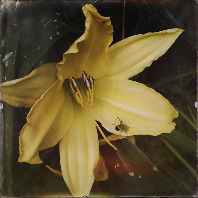 Day Lily with Grasshopper #daylily #daylilies #flowers #grasshopper #garden #patiogarden