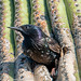 European Starling in Saguaro by Kukui Photography