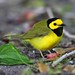 HOODED WARBLER A52V2061 EXPLORE by Mudhen2