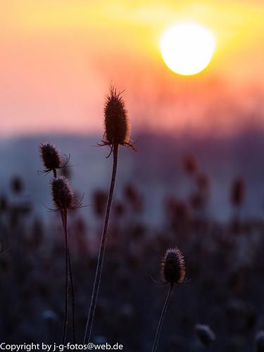 sky plants nature sunrise germany landscape bayern europe natur pflanzen himmel landschaft floweringplants dipsacusfullonum wildteasel neuulm wildekarde blütenpflanzen fullersteasel plessenteich