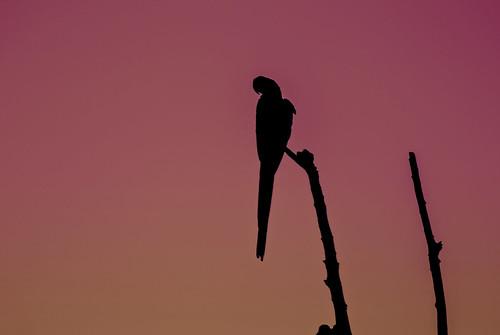 sunset wild brazil animal brasil fauna grande nikon parrot pôrdosol ms campo j1 pantanal arara