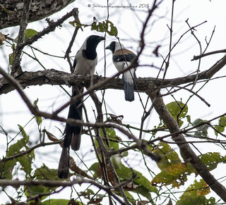 Rufous Treepie Couple