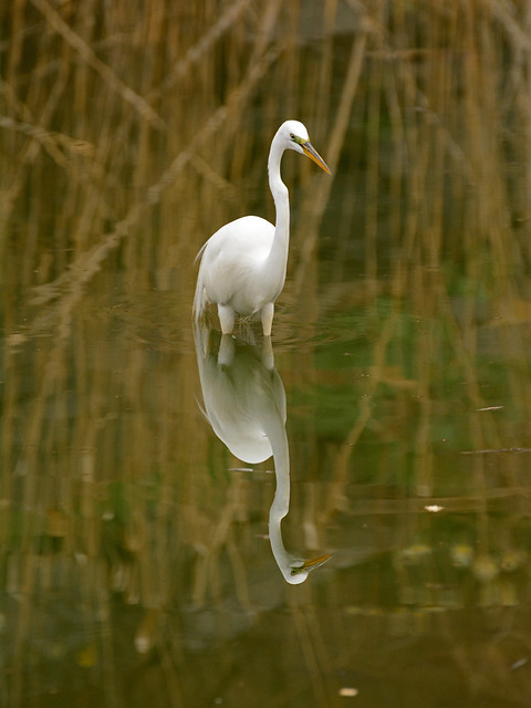 Morningside Egret - 8667