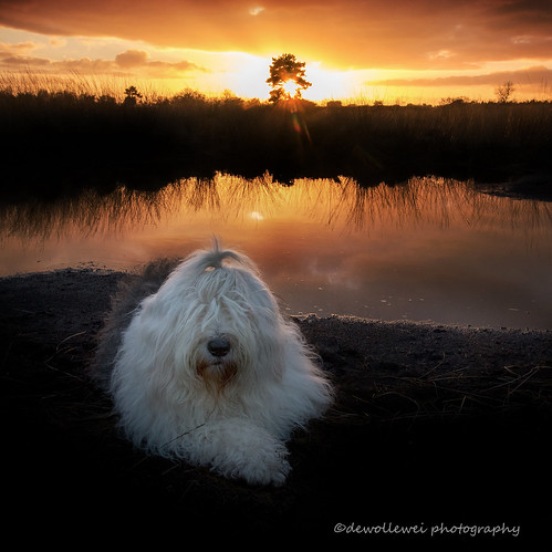 old sunset english zonsondergang sheepdog oes oldenglishsheepdog sheepdogs oldenglishsheepdogs dewollewei sophieandsarah sophieensarah