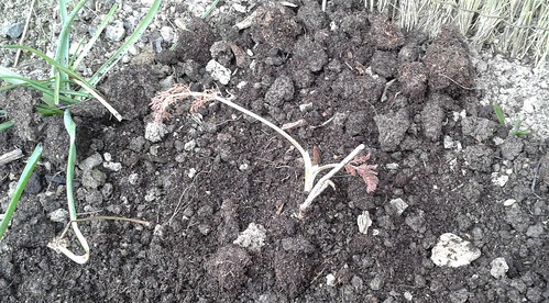 The Fennel in the ground. Lets hope it actually does something this year.
