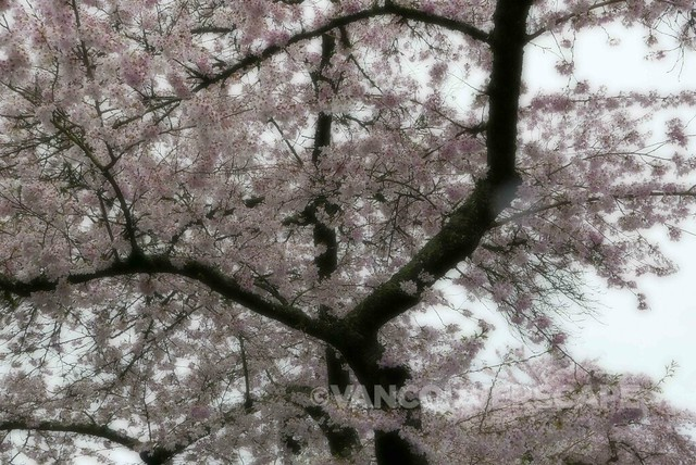 Lumix DMC-LX100 cherry blossoms/Soft focus