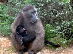 western gorilla(0.0), animal(1.0), baboon(1.0), monkey(1.0), mammal(1.0), fauna(1.0), old world monkey(1.0), macaque(1.0), ape(1.0), safari(1.0), wildlife(1.0),