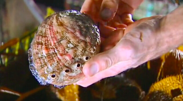 hands holding an abalone