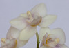 Pale miniature orchid