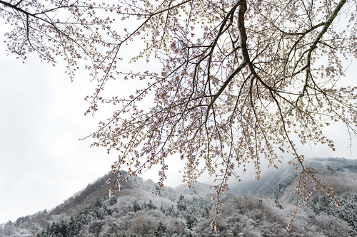 Snowfall Sakura