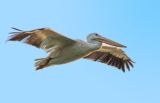 White Pelican Fly-By-2