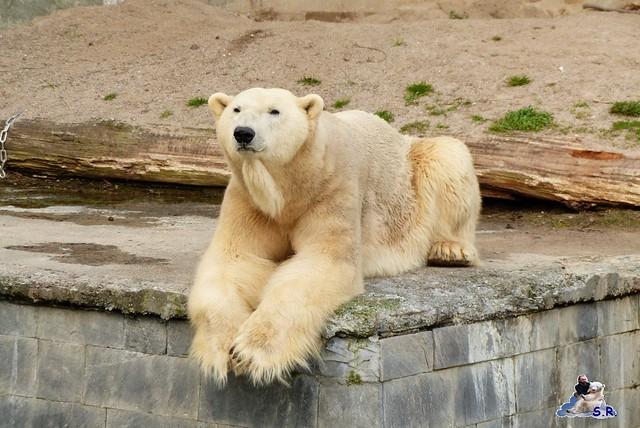Zoo Rostock Eisbären 28.03.2015  117